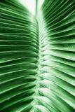 Folha grande verde tropical bonita da palma fotografia de stock