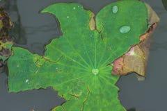 Folha inoperante de Lotus Fotos de Stock