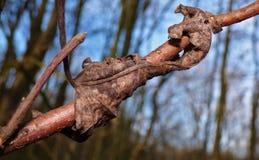 Folha inoperante envolvida em torno do ramo de árvore fotos de stock