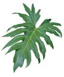 Folha isolada da selva foto de stock