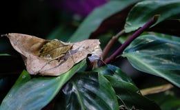 Folha Katydid nos ricas da costela da selva Fotografia de Stock