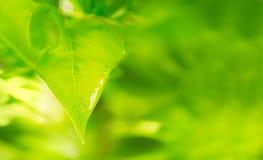 Folha lilás fresca após a chuva, coberta na água Fotografia de Stock