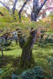 Folha luxúria da árvore de bordo japonês durante o outono em um jardim em Kyoto, Japão Imagem de Stock Royalty Free