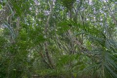 Folha luxúria da floresta de Jozani, Zanzibar, Tanzânia Fotografia de Stock Royalty Free