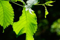Folha macro da faia na luz brilhante do sol foto de stock
