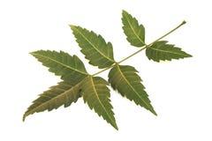 Folha medicinal do neem Fotografia de Stock