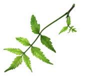 Folha medicinal do neem Imagens de Stock