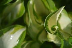 Folha molhada verde e branca Imagem de Stock Royalty Free