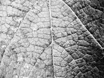 Folha muito bonita das uvas fotografia de stock