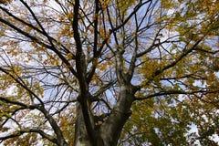 Folha na queda Uma árvore grande beech fotografia de stock