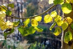 Folha nas árvores no parque, outubro do outono fotografia de stock