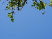 Folha no ramo e no céu azul Imagem de Stock Royalty Free