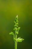 Folha nova da mimosa do rosa selvagem Fotos de Stock