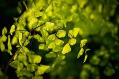 Folha nova do verde da vida Imagens de Stock Royalty Free