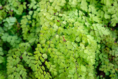 Folha nova do verde de Fern Adiantum Sp do cabelo brilhante Foto de Stock