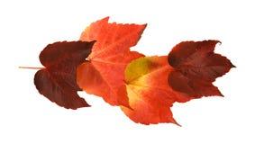 Folha outonal colorida bonita da uva selvagem Foto de Stock