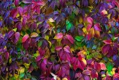 Folha outonal de uvas selvagens Imagem de Stock Royalty Free