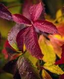 Folha outonal de uvas selvagens Imagens de Stock Royalty Free