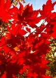 Folha, outono, vermelho, bonito, alaranjado, sol, árvores, ramo, bordo fotografia de stock