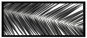 Folha, palma, árvore planta, folha de palmeira do blackwhite, ornamento da madressilva, palma, palmeira, palmette, foto de stock