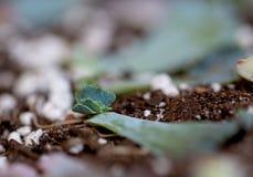 Folha para plantar o bebê suculento Imagens de Stock Royalty Free