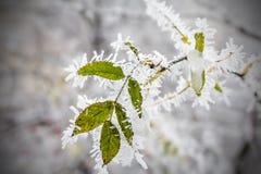 Folha que pendura em uma árvore coberta com o depósito da geada da manhã da geada Geadas adiantadas, congelando-se, escarcha maci fotografia de stock royalty free