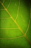 Folha saudável verde foto de stock royalty free