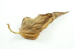 Folha seca Fotografia de Stock