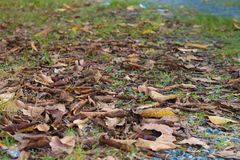 Folha seca colorida nos fundos brancos fotografia de stock