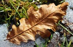 Folha seca do carvalho na neve fotografia de stock