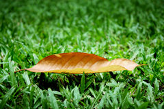 Folha seca na grama do gramado Fotografia de Stock