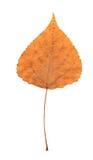 Folha seca pressionada do poplar Fotos de Stock
