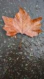 Folha seca sob o fundo da chuva fotografia de stock