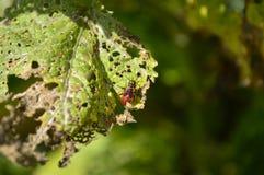 Folha secada comida por besouros fotografia de stock royalty free