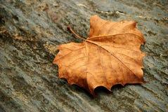 Folha secada em uma rocha Foto de Stock