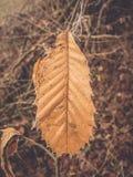 Folha secada inverno da castanha Imagens de Stock Royalty Free