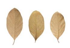 Folha secada isolada imagem de stock