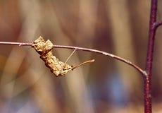 Folha secada velha em um ramo de uma árvore da mola imagem de stock royalty free