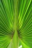 Folha suculenta da palmeira vertical Imagens de Stock Royalty Free