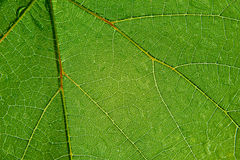Folha transparente verde Fotografia de Stock Royalty Free