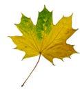 Folha tricolor vibrante brilhante do outono Foto de Stock