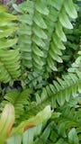 Folha tropical Fotografia de Stock Royalty Free