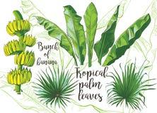 Folha tropical da banana do vetor, textura dos frutos Imagens de Stock Royalty Free
