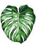 Folha tropical da planta do adansonii do monstera isolada no fundo branco ilustração stock