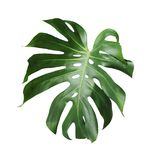 Folha tropical do deliciosa de Monstera isolada no fundo branco imagem de stock royalty free