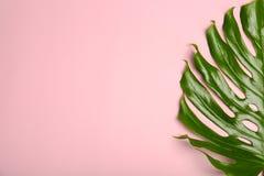 Folha tropical fresca do monstera no fundo da cor, imagem de stock