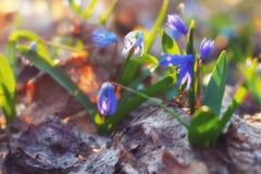 Folha velha da floresta com as flores azuis frescas após o inverno foto de stock royalty free