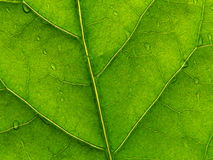 Folha verde 2 Foto de Stock Royalty Free