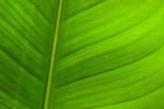 A folha verde Imagens de Stock Royalty Free