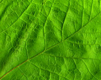 Folha verde. Imagens de Stock Royalty Free